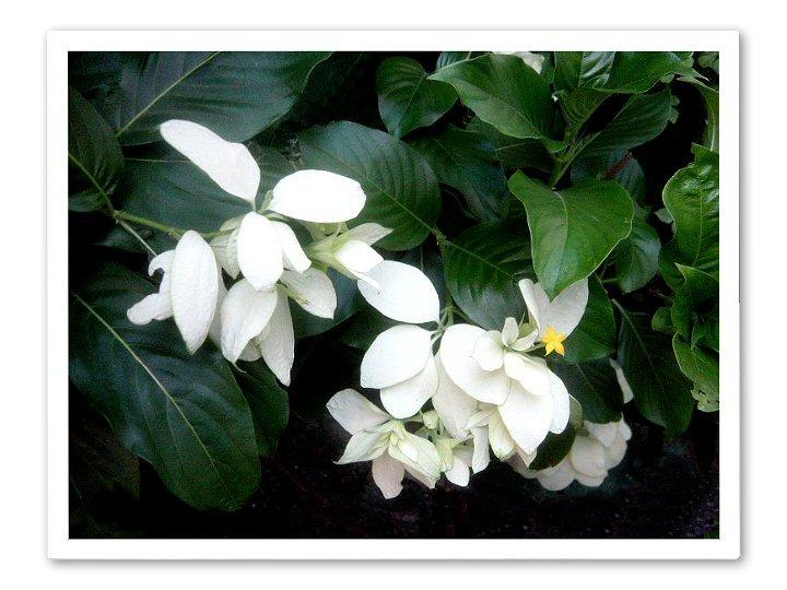 White Mussaenda