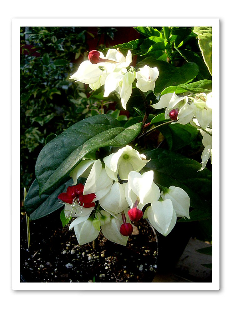 Clerodendrum thompsonii