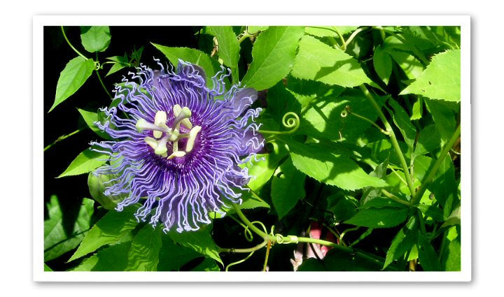 Passiflora Temptation
