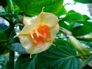 Brugmansia Angels Goldface