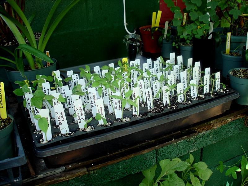 brugmansia seedlings