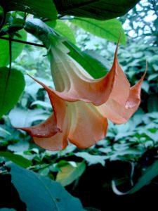 Brugmansia Cinnabar