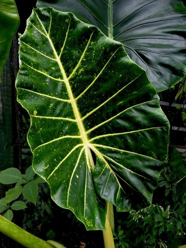 Alocasia New Guinea Gold