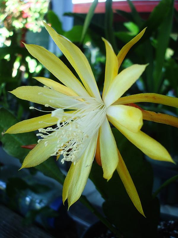 Epiphyllum Fruhlingsgold
