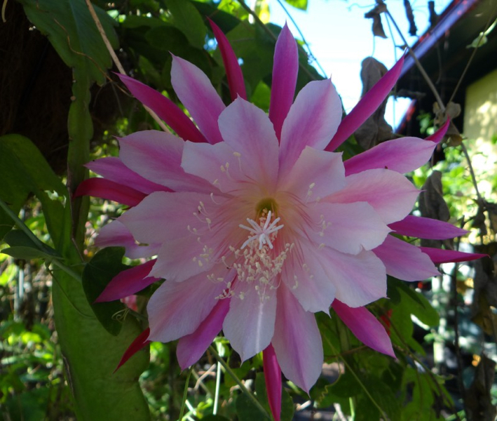 Epiphyllum Color Wheel
