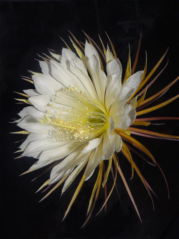 Epiphyllum Selenicereus Grandiflora
