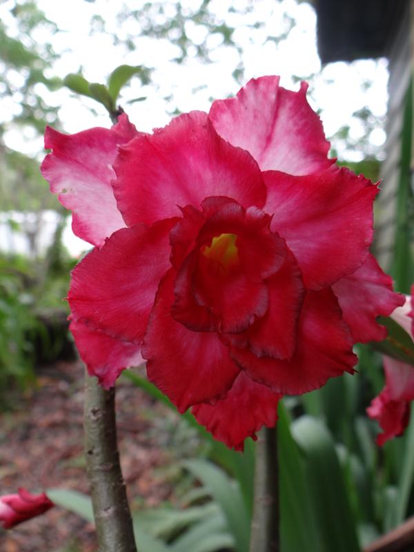 Red Rhumba