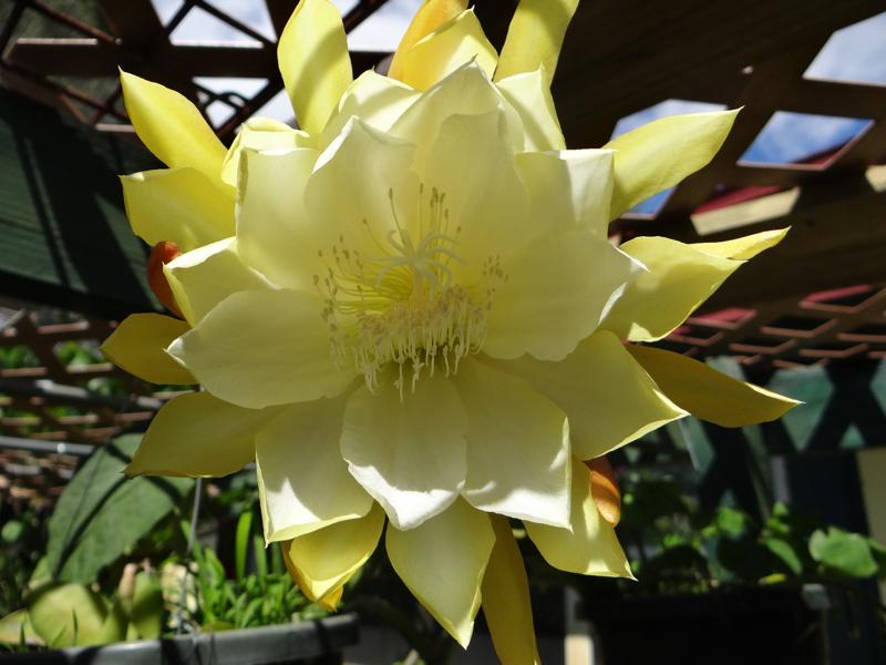Epiphyllum Princess Kelly