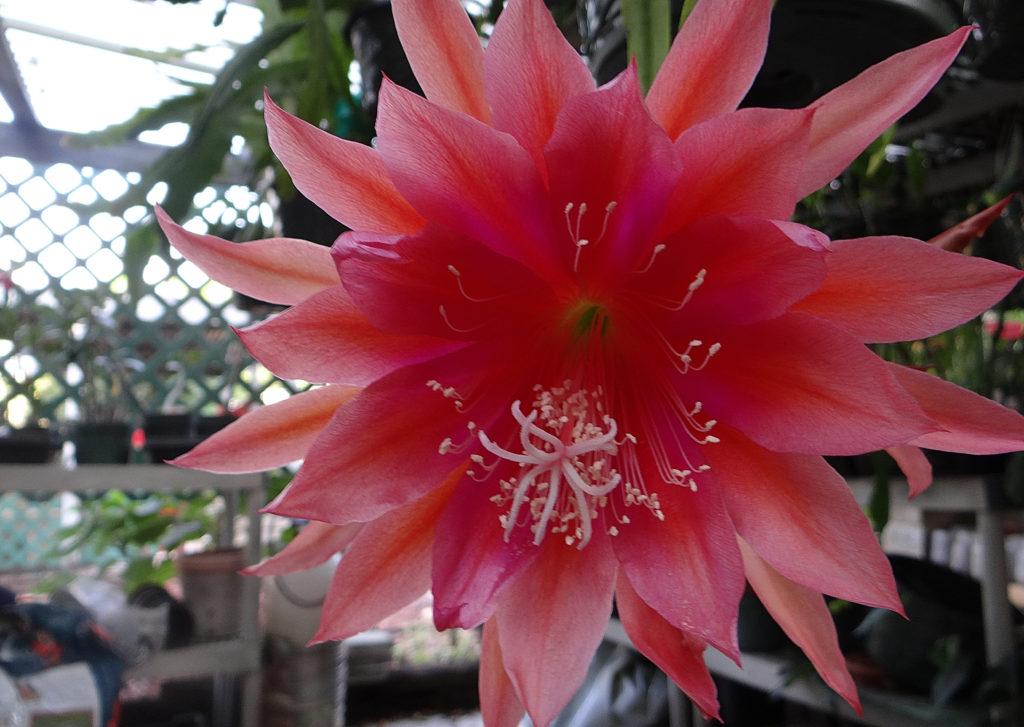 Epiphyllum Roman Holiday
