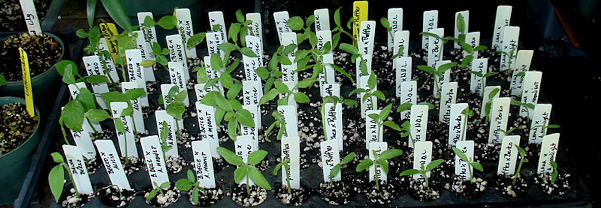 How To Sprout Brugmansia Seedlings
