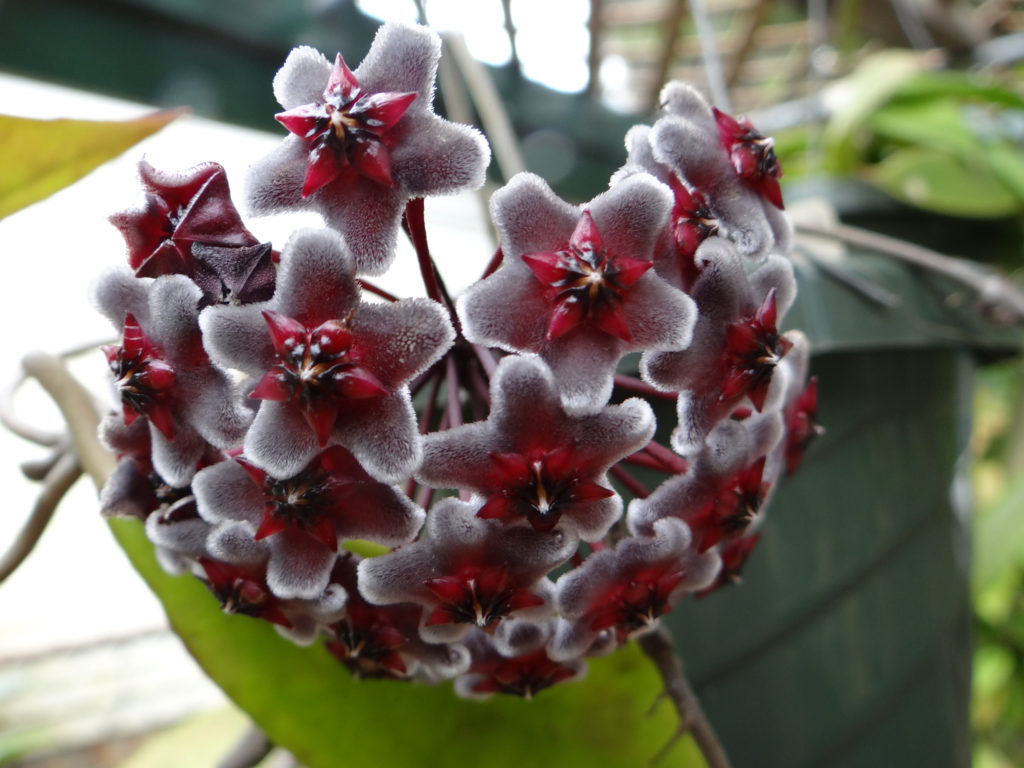 Hoya pubicalyx Red Buttons