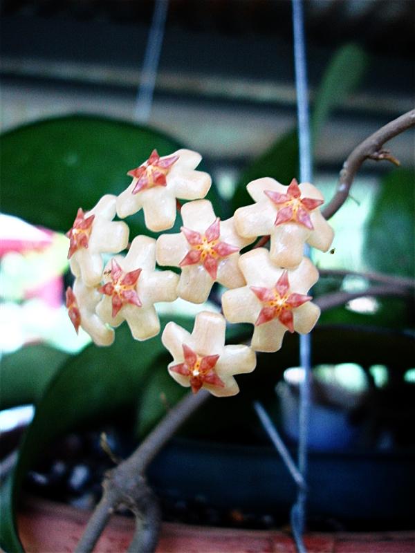 Hoya fuscomarginata
