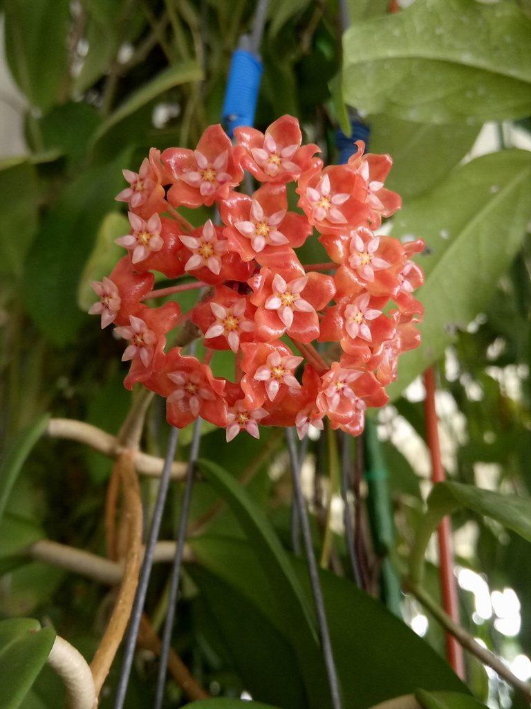 Hoya illigorium