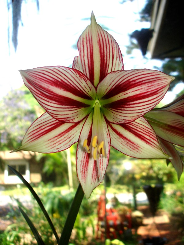 Amaryllis Arghya Little Chief