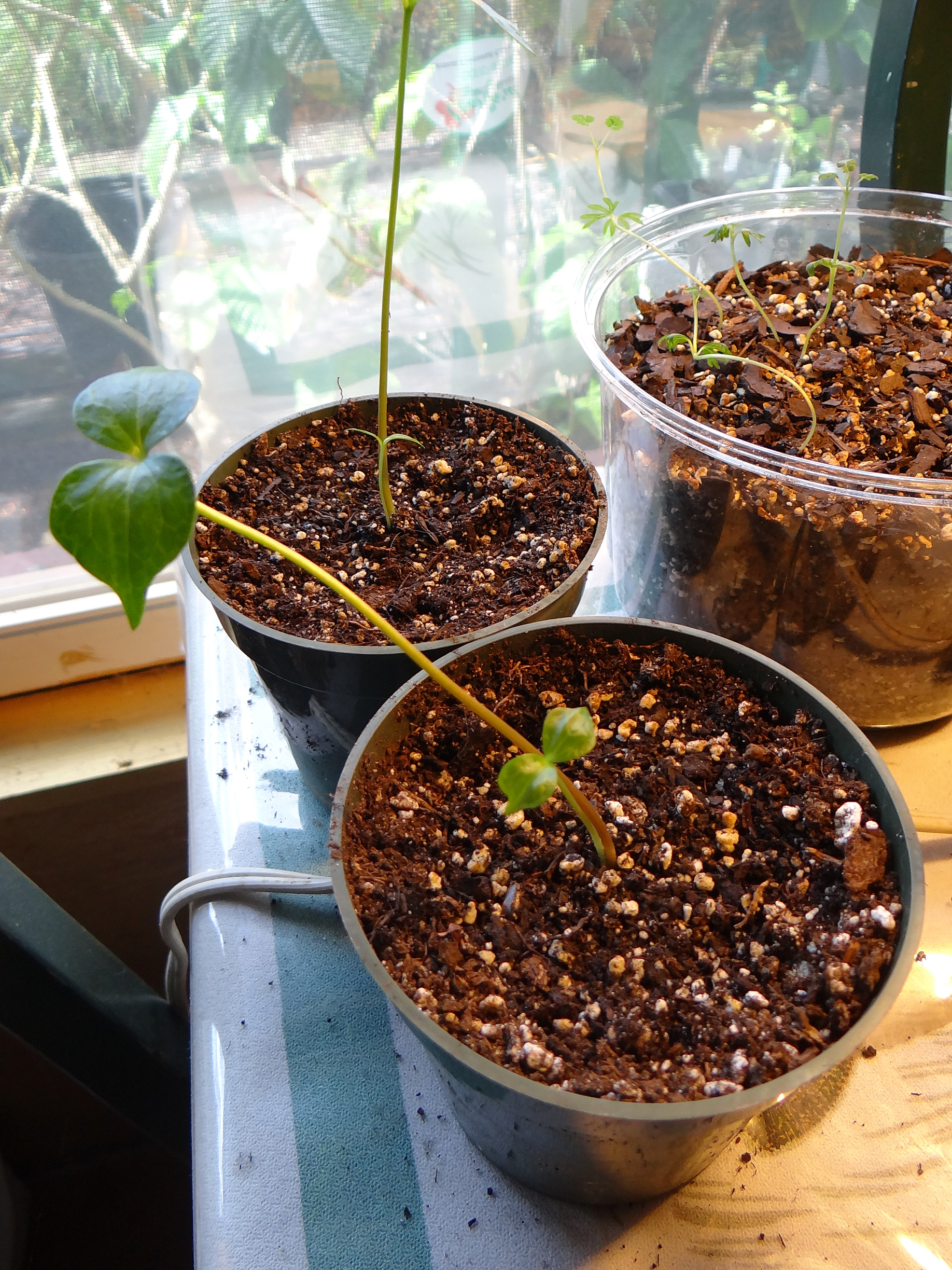 Commiphorra Myrrha seedlings