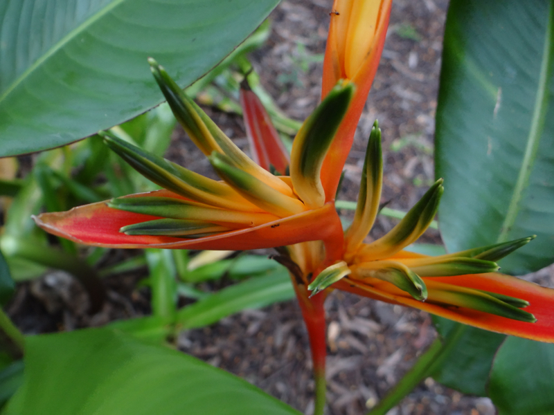 Heliconia Guadelupe